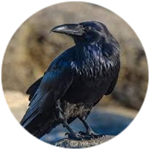 Roblox Wisteria - Shop Item Crow on Shoulder